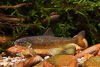 Atlantischer Lachs, Jungfisch, Salm, Salmo salar, Atlantic salmon