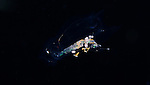 Black Water diving, Pelagic marine life; planktonic creature; Off Riviera Beach, Fl, Gulfstream Current, South Atlantic Ocean.