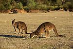 Ile Kangourou au sud d'Adelaide. Les Koalas ont ete introduits sur l'ile.Kangourous de l'ile kangourou, sous espece du kangourou gris occidental