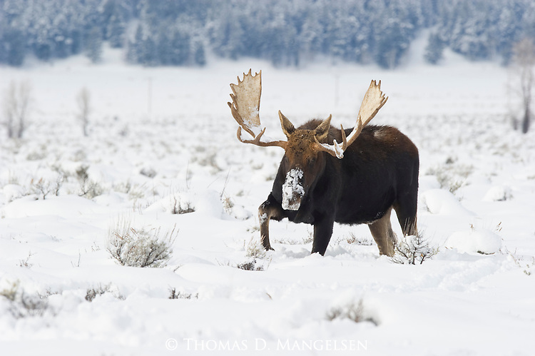 A bull moose walks through the deep snows of Grand Teton National Park, Wyoming.