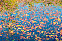 Water shields and fall reflections fill the surface of a small bay on Big Island Lake in Hiawatha National Forest in Schoolcroft County, Michigan