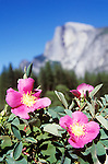 Half Dome looms over the pink flowers of wild roses, Yosemite National Park, Calif.