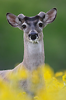 White-tailed Deer (Odocoileus virginianus), buck in wildflowers, Laredo, Webb County, South Texas, USA