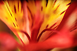 close-up of a yellow / red alstroemeria flower