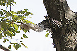 Two male Downey woodpeckers sparing for dominance on tree limb. Wings spread in flight.