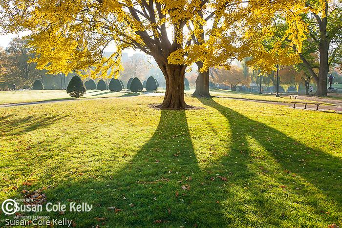 Ginko trees in the Boston Public Garden, Boston, MA, USA
