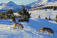 Two Gray Wolves (Canis lupus) near Glacier National Park, MT.  Winter.