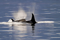 Killer Whale pair, Orcinus orca, surfacing in Southeast Alaska, USA. Pacific Ocean
