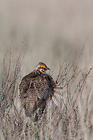 Lesser Prairie-Chicken, Tympanuchus pallidicinctus, male perched, Canadian, Panhandle, Texas, USA, February 2006