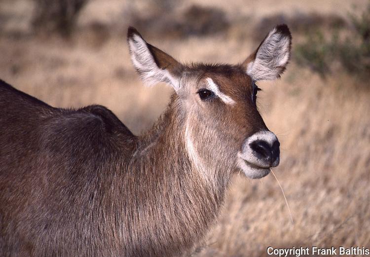 waterbuck, Samburu National Park