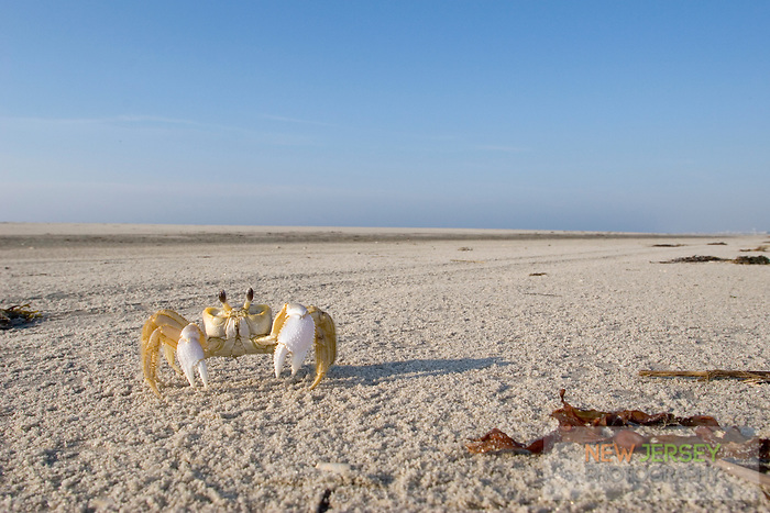 Ghost Crab on the Beach, Stone Harbor, New Jersey