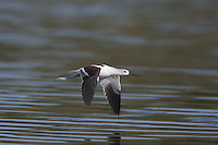 American Avocet (Recurvirostra americana) in-flight, East Pond, Jamaica Bay Wildlife Refuge
