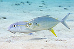 Caranx crysos, Blue runner, Bonaire