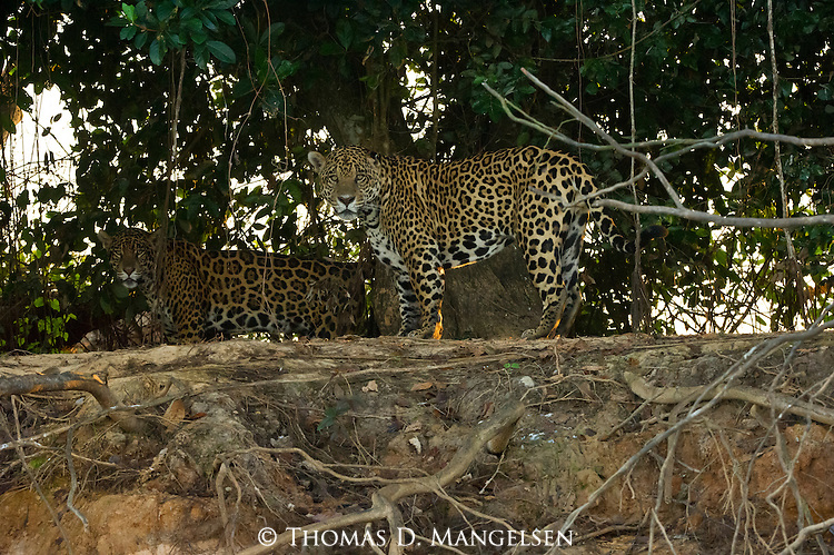 A jaguar mating pair walk along the bank at the fork of the Cuiaba and Picuiri Rivers in the Pantanal of Brazil.