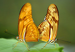 COSTA RICA - OCTOBER 19: A tight shot of two butterflies in Costa Rica on October 19, 2003. (Photo by: Donald Miralle)