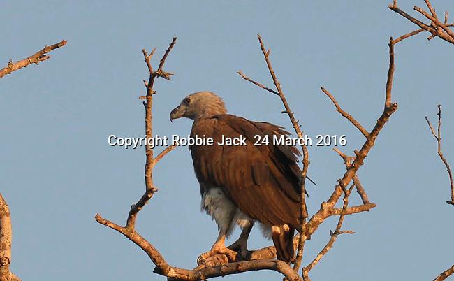 Yala National Park Sri Lanka<br /> Grey Headed Sea Eagle