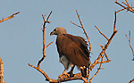 Yala National Park Sri Lanka<br /> Grey Headed Sea Eagle