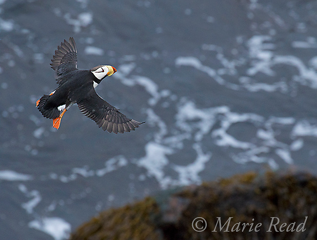 Horned Puffin (Fratercula corniculata) in flight, St. Paul Island, Pribilofs, Alaska, USA (Space added at top of frame)