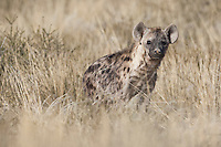 Spotted hyena in tall grass