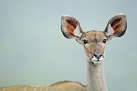 Greater Kudu, Tragelaphus strepsiceros,  St Lucia wetlands NP, South Africa