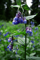 The Tall Chiming Bell (Mertensia ciliata) is an easy wildflower to identify. It grows quite tall 3-4 ft). Sometimes Tall Chiming Bells grows into a perfectly shaped bush... but most of the time its tall, leggy and spindly.<br /> Look for Tall Chiming Bells in clearings near ponds, flowing water or springs.