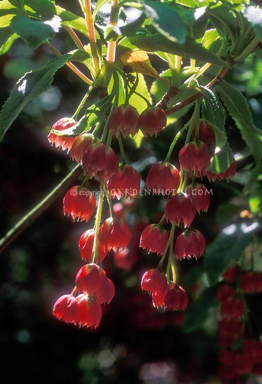 Enkianthus cernuus f. rubens red flowers in spring