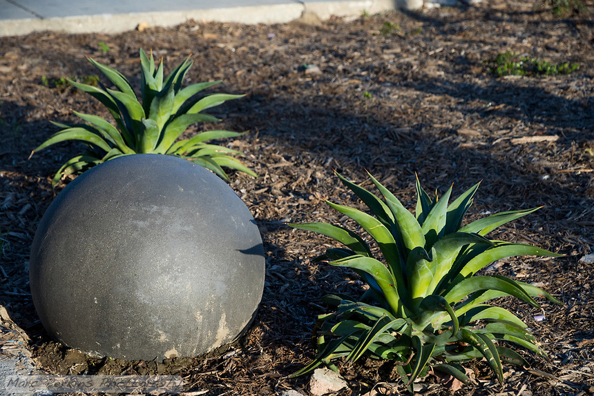 Two agaves are planted next to a landscape ball.