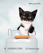 Xavier, ANIMALS, cats, photos+++++,SPCHCATS730,#a# Katzen, gatos