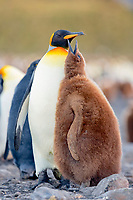 king penguin, Aptenodytes patagonicus, adult and chick, Salisbury Plain, South Georgia, South Atlantic Ocean