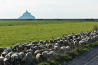 Europe/France/Normandie/Basse-Normandie/50/Manche: Baie du Mont Saint-Michel, classée Patrimoine Mondial de l'UNESCO, Le Mont Saint-Michel - Moutons de Pré Salé // Europe/France/Normandie/Basse-Normandie/50/Manche: Bay of Mont Saint Michel, listed as World Heritage by UNESCO,  The Mont Saint-Michel