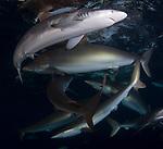 Carcharhinus falciformis, Cuba Underwater, Iridescent Sponge, Jardines de la Reina, Protected Marine park underwater, Sharks, Silke Sharks, Silky Sharknado at surface, Under Sunset and sharks