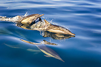 short beaked common dolphin ( Delphinus delphis ) Speedy dolphins zip to the surface. Mexico, Gulf of California, USA, Pacific Ocean