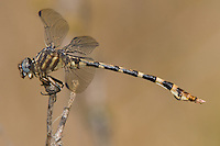 360270005 a wild male four-striped leaftail dragonfly phyllogomphoides stigmatus hornsby bend austin texas