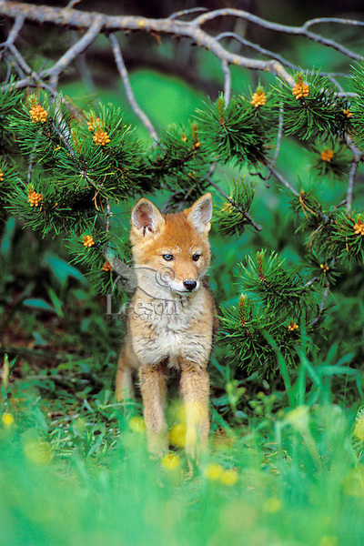 Wild coyote pup stands under lodgepole pine limb.  Western U.S., June.