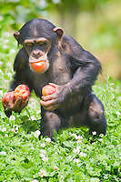 Germany, DEU, Gelsenkirchen, 2007Jun08: A young chimpanzee  (Pan troglodytes) carrying some fruits in its mouth and in its hands in the Gelsenkirchen zoo.