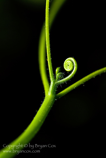 Squash tendril