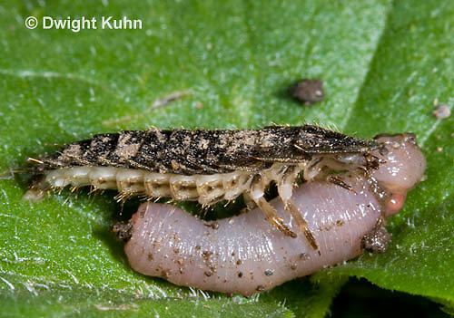 1C24-856z     Firefly larva eating worm -  Lightning Bug - several month old larva - Photuris spp.