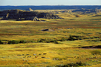Wild horse herd in badlands of Theodore Roosevelt National Park, North Dakota.  Summer.  .(Equus caballus)
