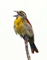 Adult male dickcissel singing