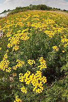 Rainfarn, Rain-Farn, Tanacetum vulgare, syn. Chrysanthemum vulgare, Tansy, fisheye