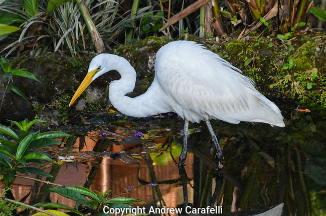 Hunted almost to extinction for their feathers, at three feet tall and with a wingspan over 5 feet, Great Egrets are both impressive and beautiful birds. Here, one fishes in a small pond near La Fortuna, Costa Rica.