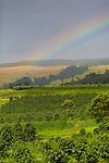 pahala, big island, coffee, agriculture, farming, hawaii, tropical