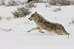 Gray wolf from the Druid pack runs thru sagebrush in Yellowstone National Park, Wyoming.