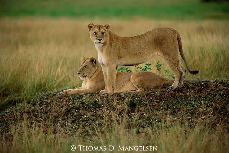 Two lioness surveying the savannah in Kenya.