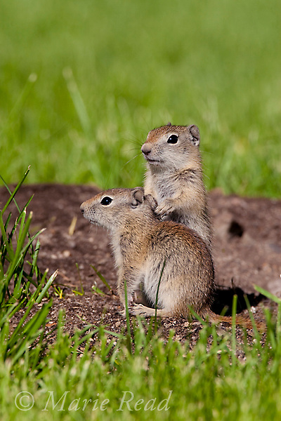 Belding's Ground Squirrels (Spermophilus beldingi), two youngsters standing on the entrance of their burrow in a park lawn, Mono Lake Basin, California, USA