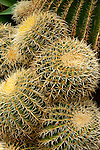 Golden Barrel Cactus ( Echinocactus grusonii) in El Huerto del Cura Botanic Garden. Elche, Alicante, Costa Blanca, Spain, Europe.