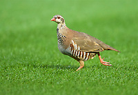 A Partridge comes onto the pitch during the Carabao Cup match between Wycombe Wanderers and Fulham at Adams Park, High Wycombe, England on 8 August 2017. Photo by Alan  Stanford / PRiME Media Images.