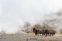 A herd of bison walks among Yellowstone's thermals.