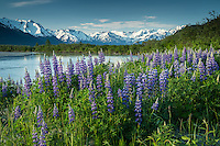 Spring landscape of field of Lupine flowers with Chugach Mountains in background along Placer River in  Southcentral, Alaska<br /> <br /> Photo by Jeff Schultz (C) 2016  ALL RIGHTS RESERVED