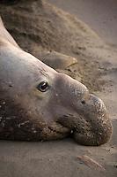 Northern Elephant Seal (Mirounga angustirostris) at Piedras Blancas, San Simeon, California